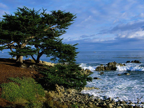 The Lone Cypress