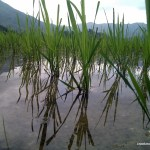The young rice plants in clear water.