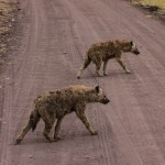 Hyena crossing the road