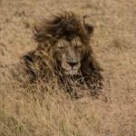 Best Male Lion shot