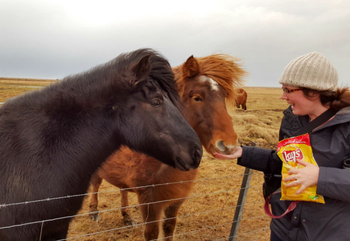 feeding two horses in iceland