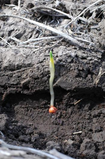 Corn seedling with yellow banding