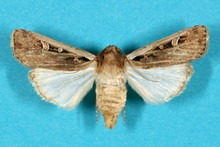 Wetern bean cutworm