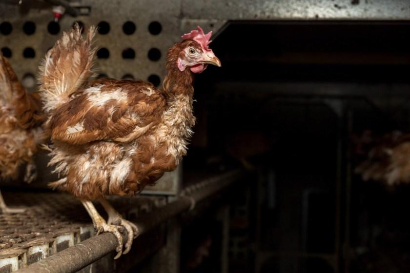 So dunkel ist es in dem Stall übrigens nicht nur in der Nacht. Die Hennen sehen hier kein Tageslicht.