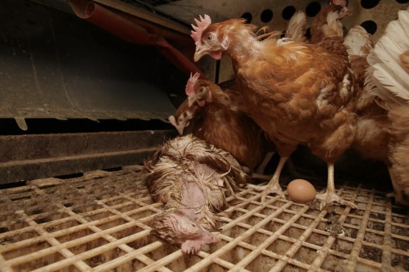 Nicht alle Hennen überlegen die straffe Legephase. Eigentlich müssten die Leichen aus hygienischen Gründen schnellstens etnfernt werden. Wir finden trotzdem innerhalb von kurzer Zeit acht tote Hühner.