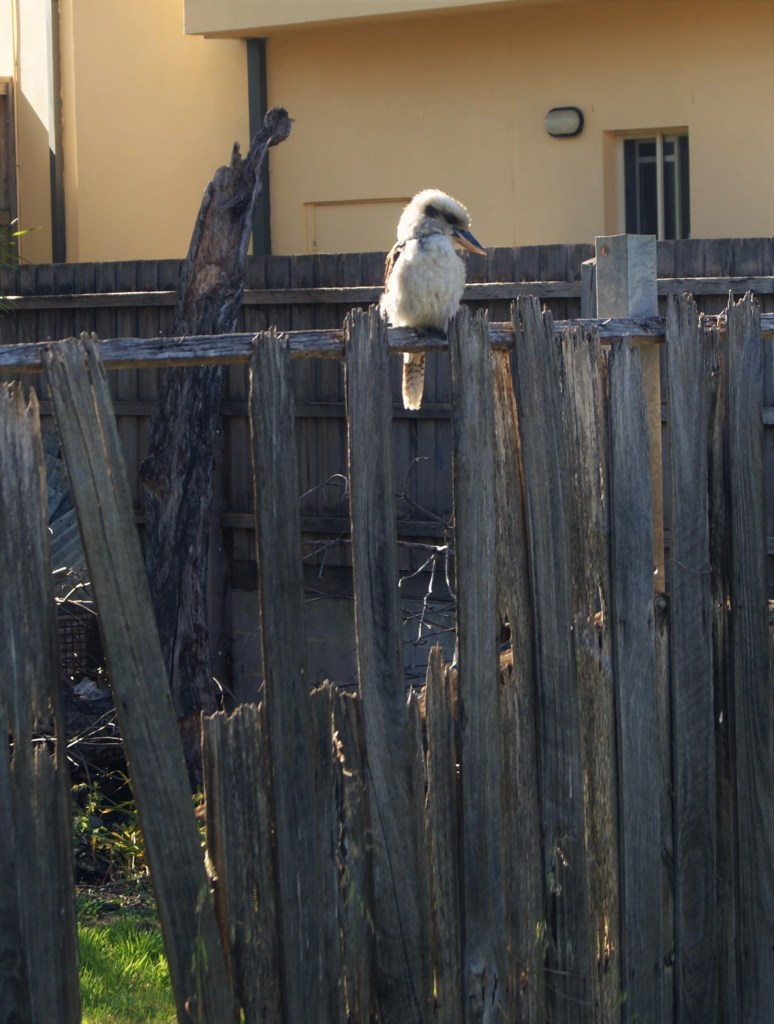Laughing Kookaburra sitting on a fence in our back yard, Melbourne, Australia