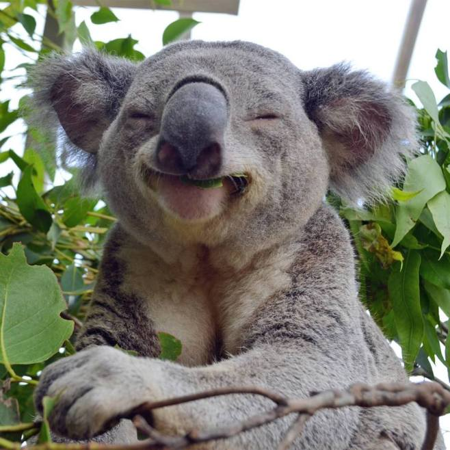 Koala with a goofy smile eating gum leaves
