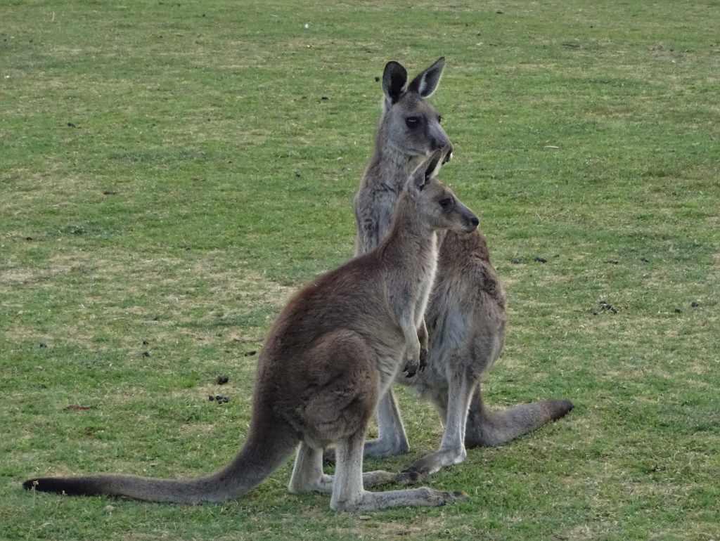 Staring Kangaroos, Grampians National Park, Australia