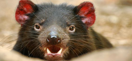 Tasmanian Devil - Photo by Tassie Devil