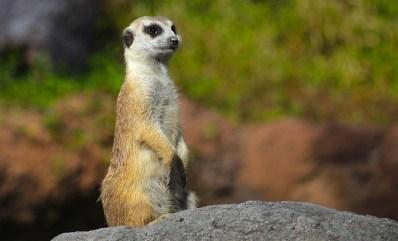 meerkat-588030_640