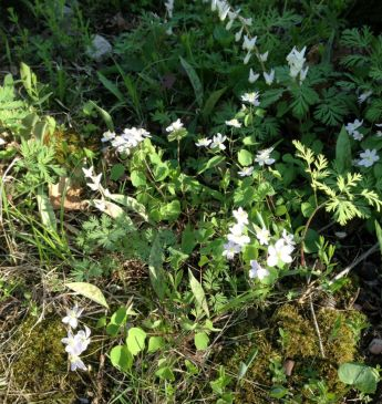 Spring Beauties and Dutchmen's Breeches