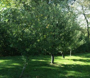 Mac's Golden Apple Trees