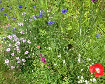 bachelors' buttons, Baby's Breathe and poppies