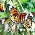 phuket's butterfly farm