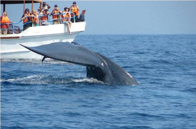 whale watching, sri lanka, activty