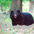national park, srinagar, india, black bear