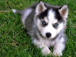 Small Of Cute Husky Puppies