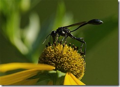 Thread Waisted Wasp photo
