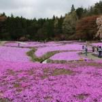 兵庫県 花の街三田で春のドライブはこちらからどうぞ