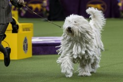 Encouraging Ness Dog That Looks Like A Mop Black Dog That Looks Like Mop Vine Oh My God Like If A Mop Was A Why Everything Be This You This Tell Tell Us Right Why Westminster Dog Show Reinforces Unfai