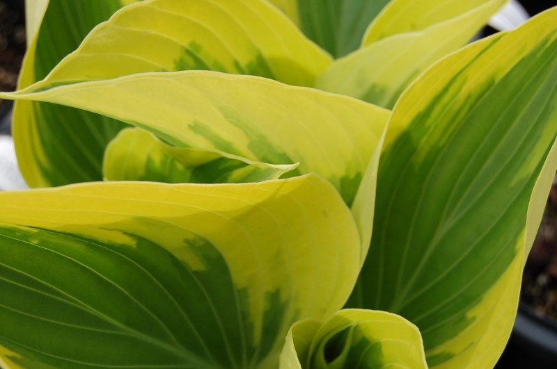 Large Of When To Transplant Hostas