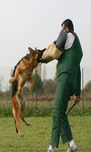 Training dog to attack