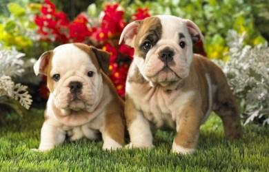 two bulldog puppys