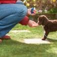 woman training poodle