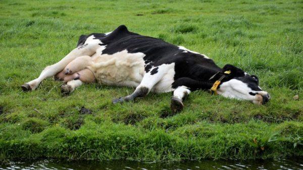 a-sleeping-cow