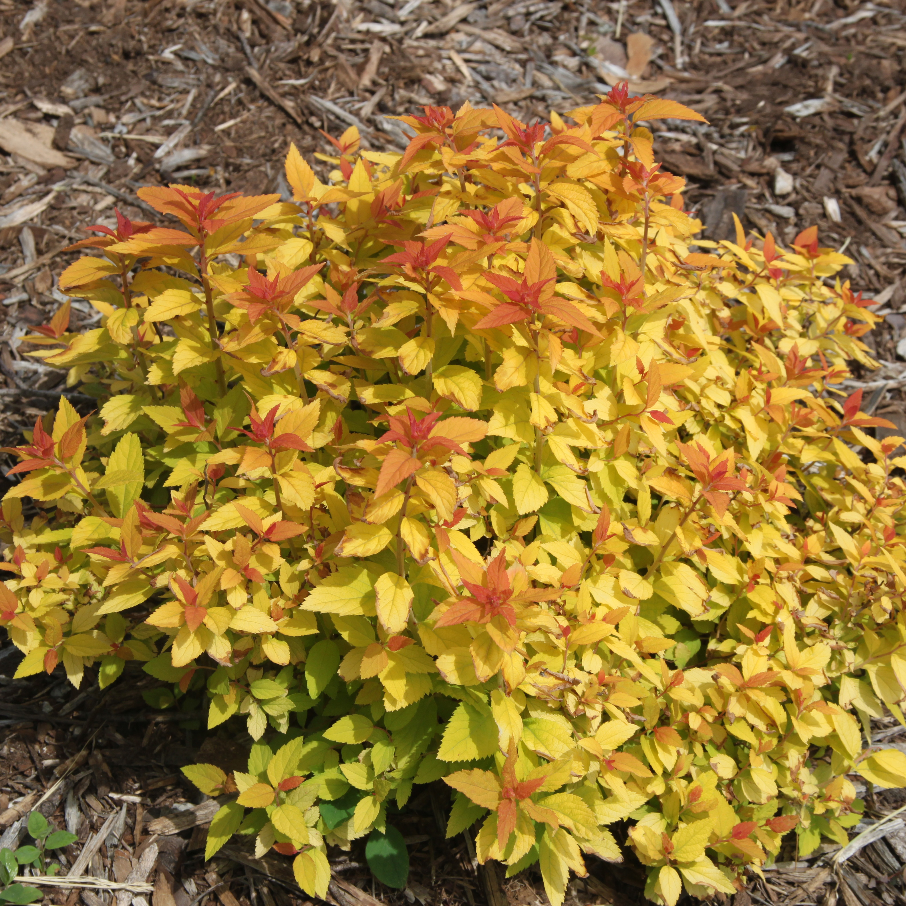 Cheerful Candy Play Spiraea Pot Proven Winners Gardens Candy Play Spiraea Pot Proven Winners Candy Corn Plant Habitat Candy Corn Plant Wikipedia houzz 01 Candy Corn Plant