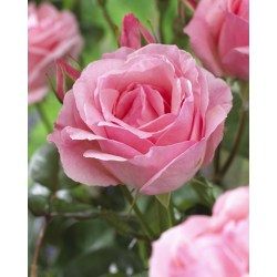 Small Crop Of Queen Elizabeth Rose