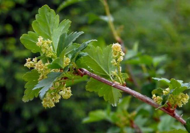 Период цветения смородины альпийской приходится на май–июнь