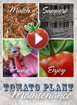 Tomato Garden Maintenance
