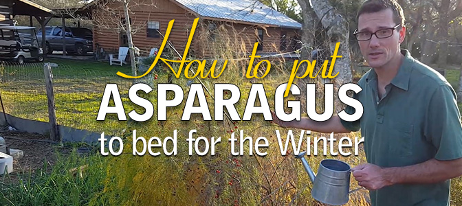 Grow Asparagus: Put it to bed for Winter