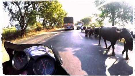 cows on the road in India, mumbai, mumbai traffic, cracy mumbai traffic, motorcycle in mumbai, suicidal traffic india, motorcycle through India, dagsvstheworld