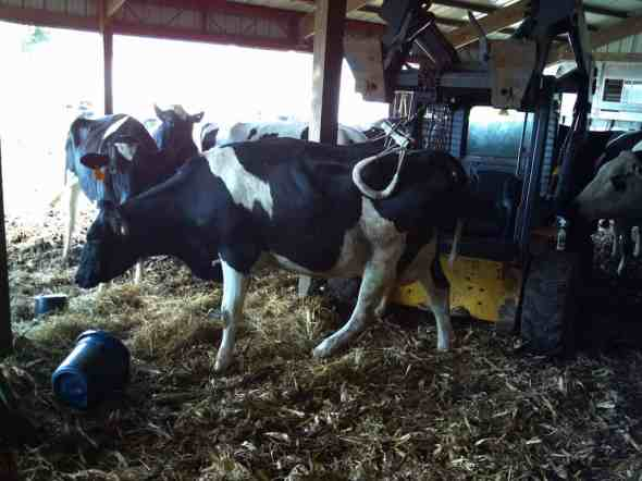 Using a Skid Loader and Hip Clamp to Lift and Move a Wisconsin Dairy Cow Video