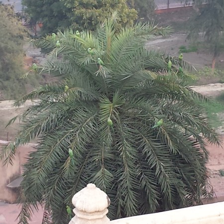 Tree Full of Parrots Outside the Agra Fort