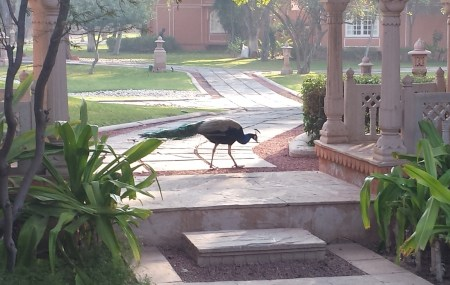 Peacock Out For His Morning Stroll at the Oberoi Rajvilas