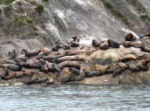 Alaskan Sea Lions. Copyright Donnelle Oxley
