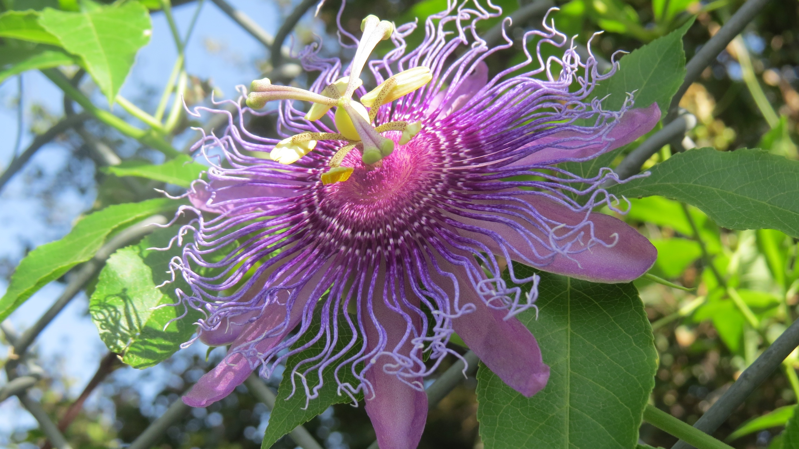Inspiring Passion Flower A Passion Passion Vine Dallas Garden Buzz Purple Passion Plant Size Purple Passion Plant Light houzz-03 Purple Passion Plant