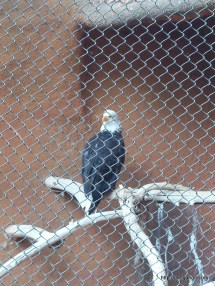 Spirit the Bald Eagle at the Santa Ana Zoo.