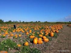 A real pumpkin field.