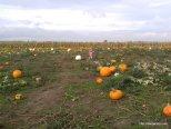In a sea of pumpkins