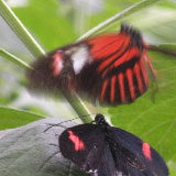 The Laws of Attraction: What Butterflies Can Tell Us About How We Choose Our Romantic Partners