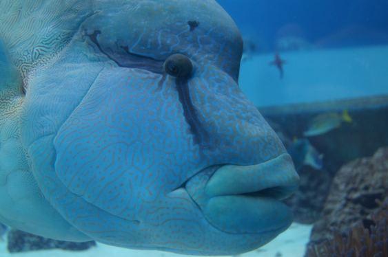 沖繩美麗海水族館 大蘇眉