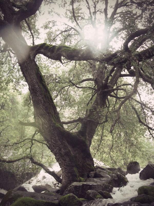 Tree at the foot of Yosemite Falls