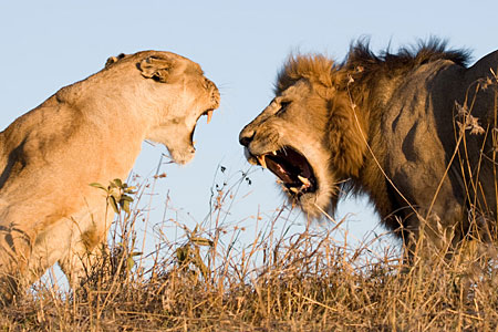 african animals and wildlife safaris dangerous lions hunting big five big cats animal pictures lion-roar images