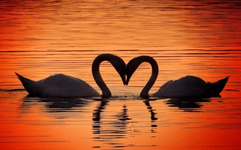 PIC FROM Paul Biggs/MERCURY PRESS(PICTURED: Photographer Paul Biggs, 51 from Sheffield captured two love birds on Waverley lakes,Orgreave near Sheffield.)These two swans certainly know a thing or two about necking as they were caught getting ready for Valentines Day by forming a romantic heart shape. The enchanting image of the courting birds taking part in their traditional mating ritual was taken by engineer Paul Biggs, 51, at Waverley Lakes in Orgreave, South Yorks. Dad-of-three Paul, who lives in Sheffield, said: The photo makes me smile at the tenderness and love it is a pair of swans very much in love.SEE MERCURY COPY