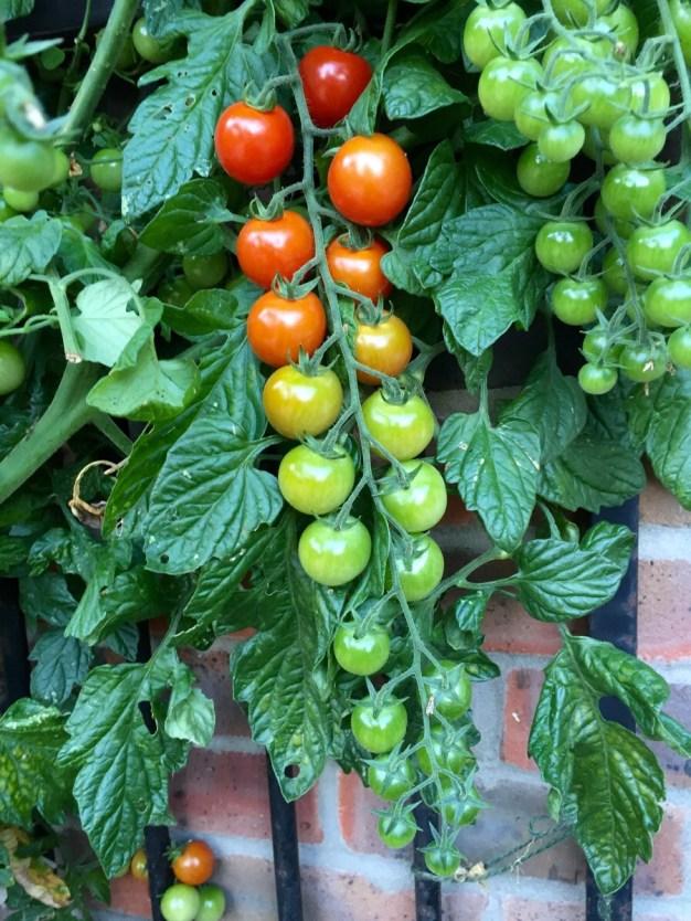 Living tomato ripeness chartt http://imgur.com/AMYSUi1