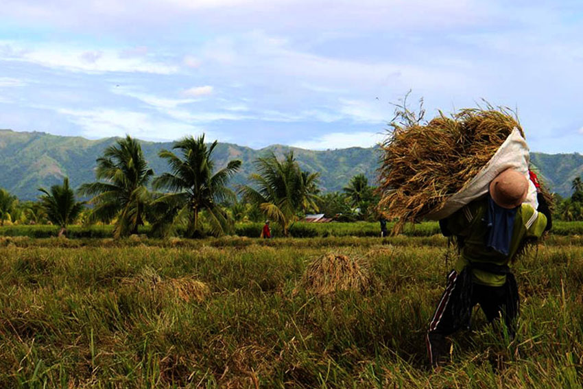 WINDY RICE FIELD. December winds sweep past a farmer tossing a sack of newly harvested rice to his head in Pigcawayan, North Cotabato. (Kenette Jean Millondaga/davaotoday.com)